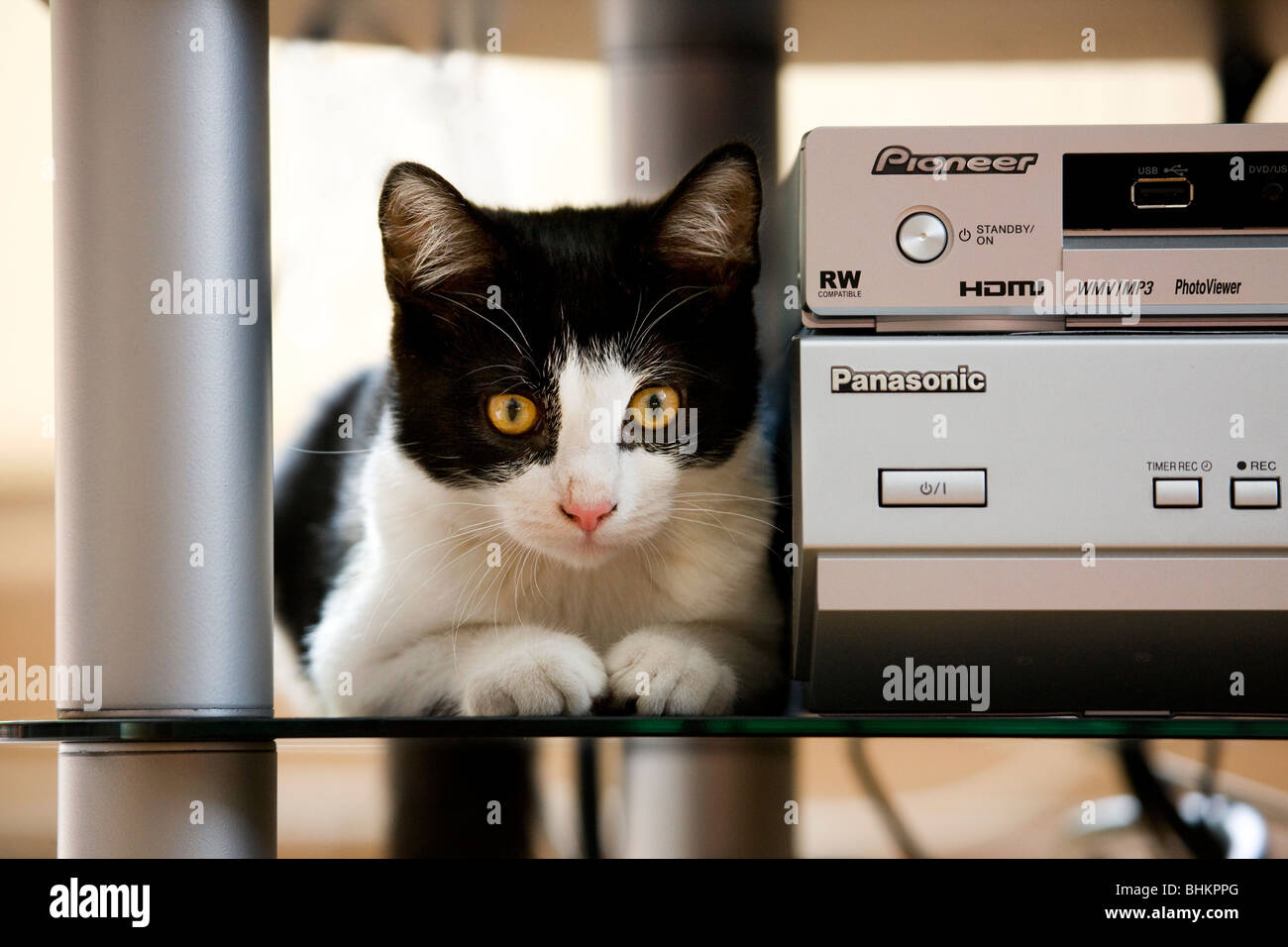 Chat domestique (Felis catus) à côté de l'équipement stéréo dans la salle de séjour Photo Stock