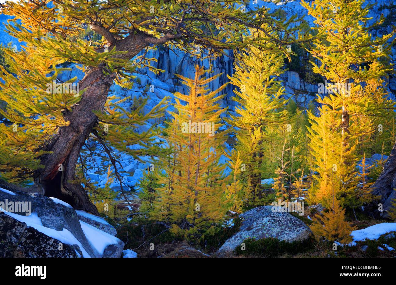 Mélèzes au lacs d'enchantement Photo Stock
