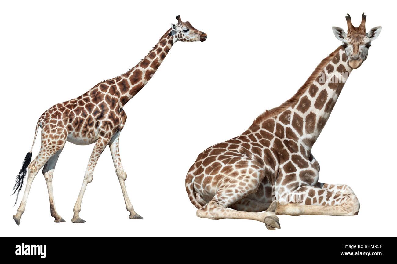 Girafe mensonge et exécutez isolé sur fond blanc Photo Stock