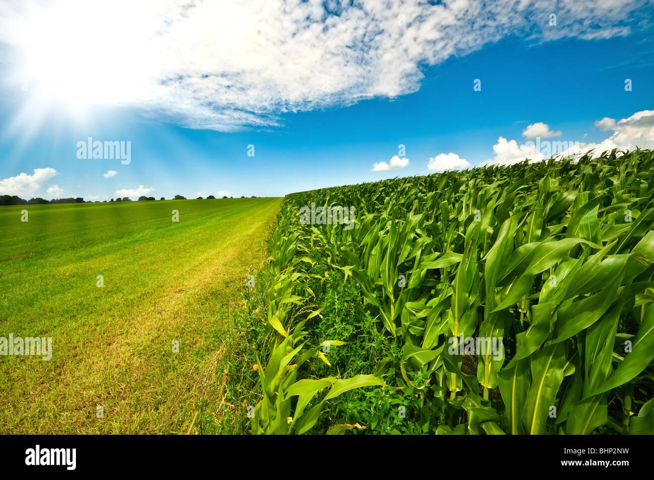Terres agricoles de l'été avec l'herbe verte fraîche, champ de maïs et ciel bleu Photo Stock