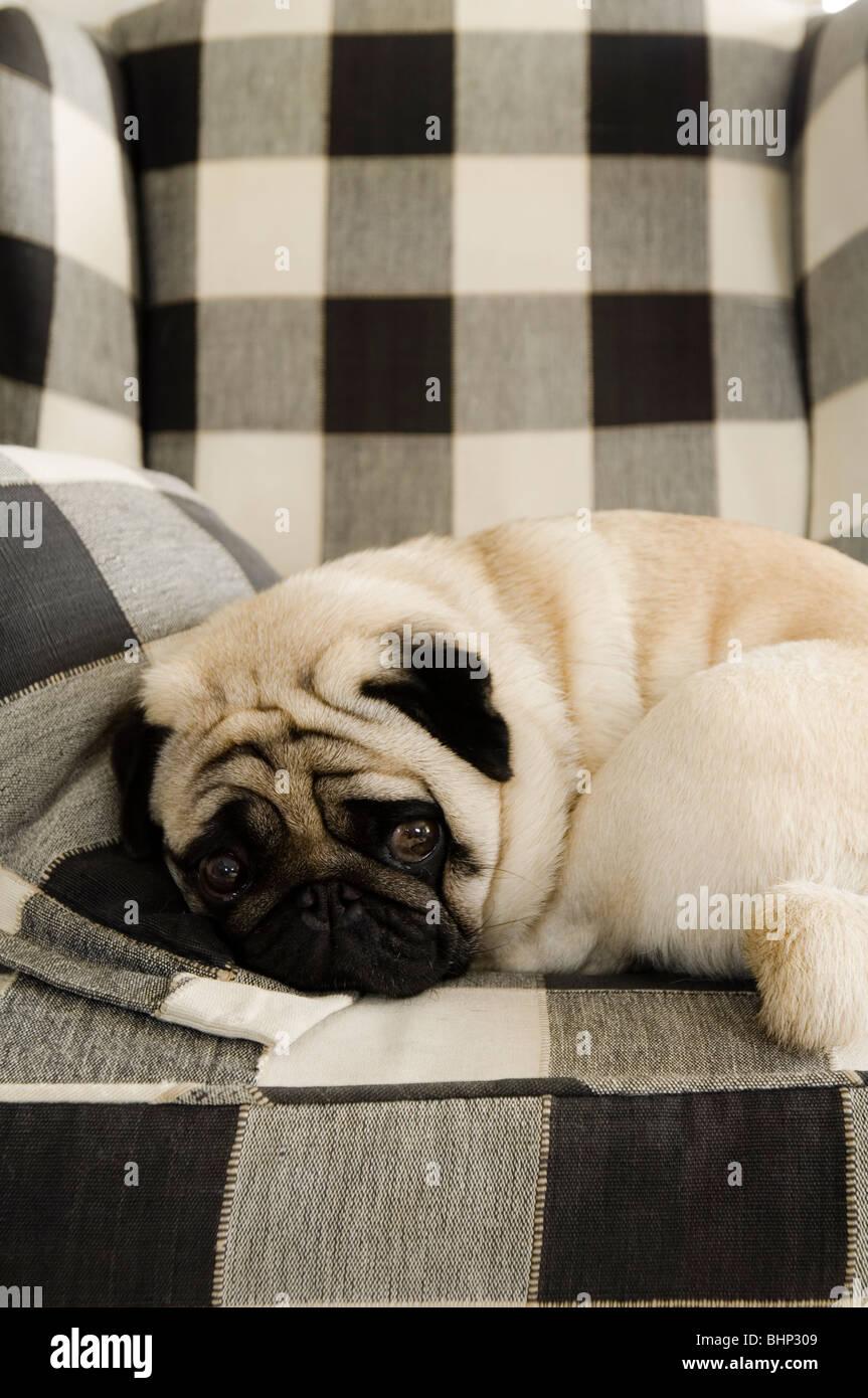 Le PUG dog pelotonnée sur un fauteuil à carreaux Photo Stock