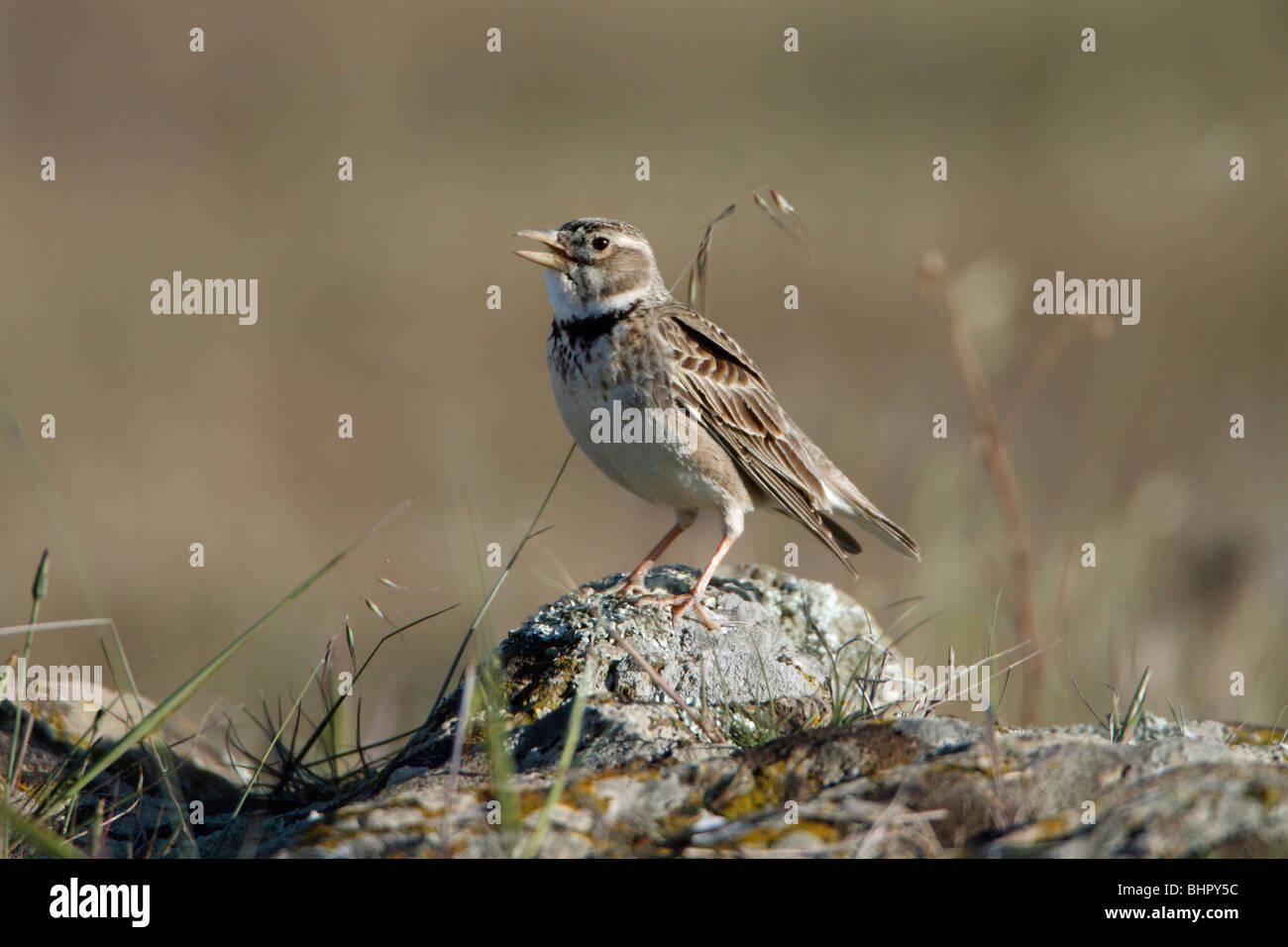 Calandre (Melanocorypha calandra), homme perché sur la pierre, Portugal Photo Stock