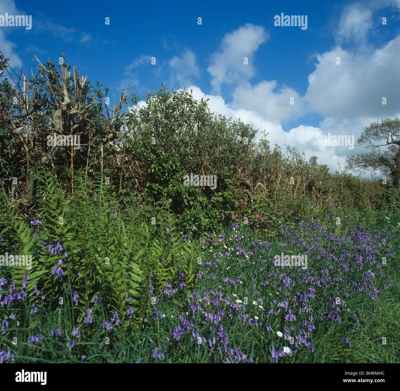 Devon bank et haie avec jacinthes en fleurs au printemps Photo Stock