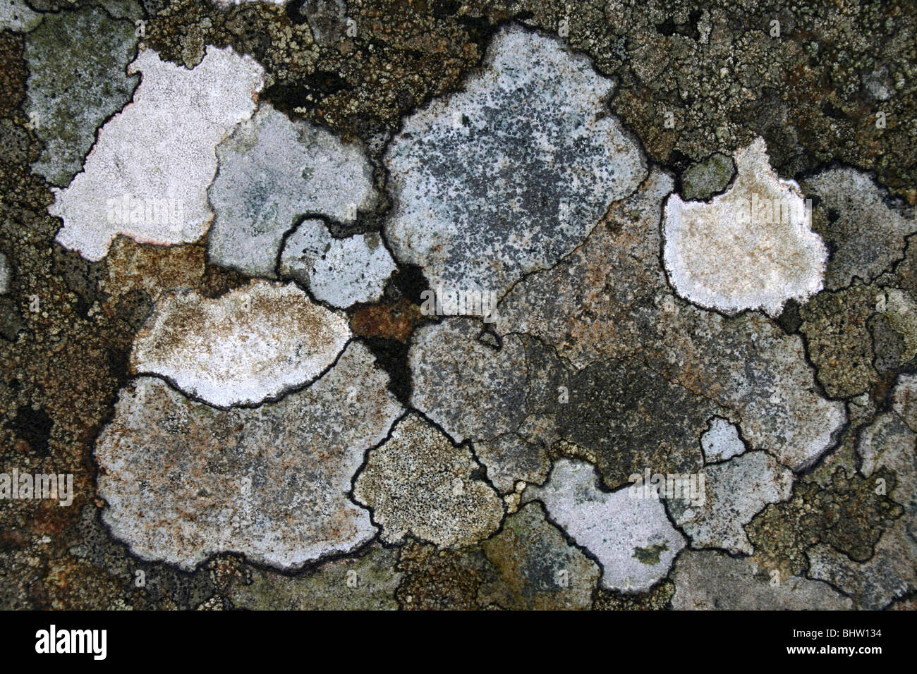 Patchwork de lichens crustacés sur un rocher Photo Stock