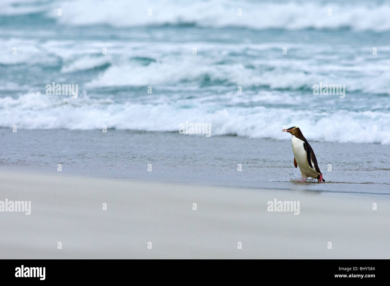 Yellow-eyed Penguin (Megadyptes antipodes) - Nouvelle-Zélande Photo Stock
