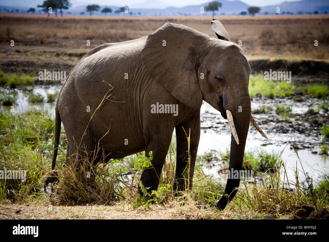 L'éléphant, le NP Mikumi, Tanzanie, Afrique de l'Est Photo Stock