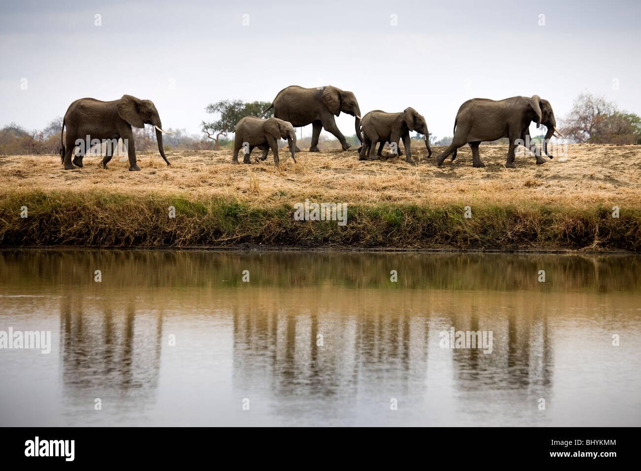 Famille d'éléphants, NP Mikumi, Tanzanie, Afrique de l'Est Photo Stock