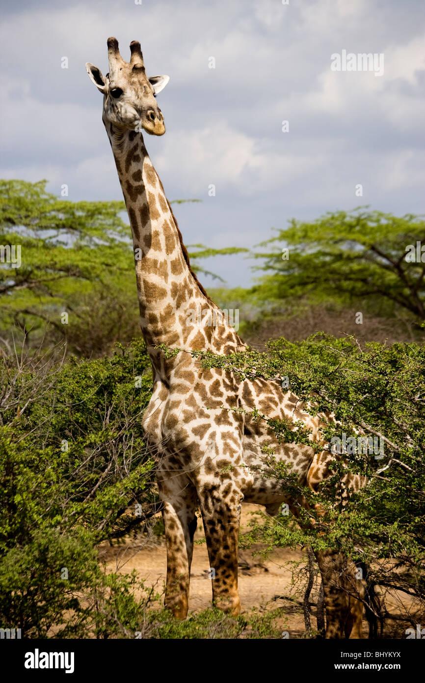 Girafe de Masai, Selous, Tanzanie, Afrique de l'Est Banque D'Images