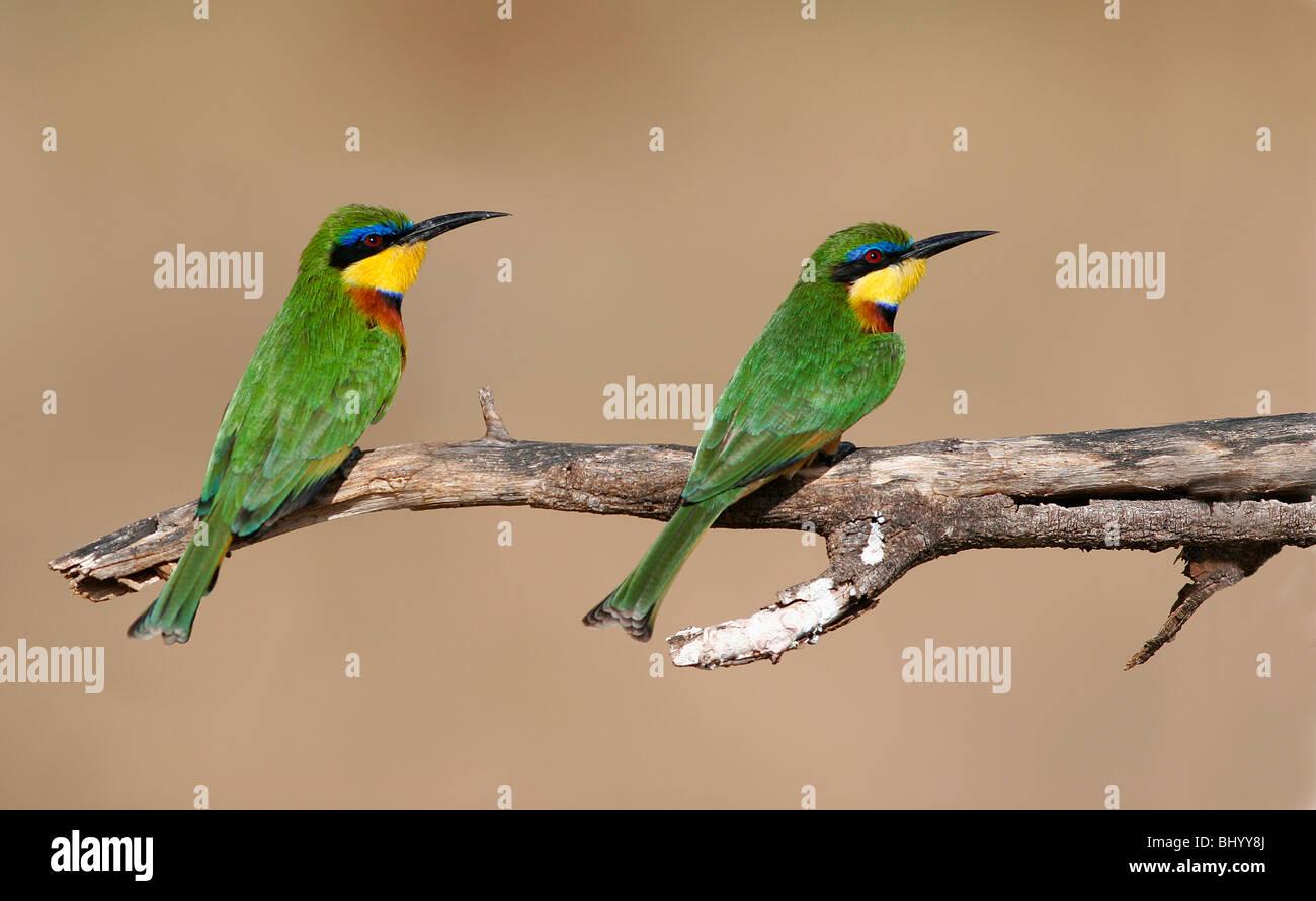 Little bee-eater merops pusillus est et l'Afrique sub-saharienne Photo Stock