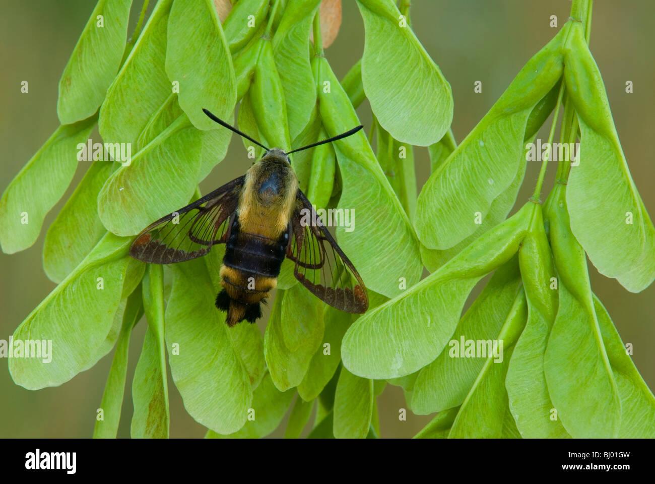 Hummingbird Moth Hemaris thysbe sésie commune sur Ashleaf Maple Seeds est des Etats-Unis, par aller Moody/Dembinsky Photo Stock