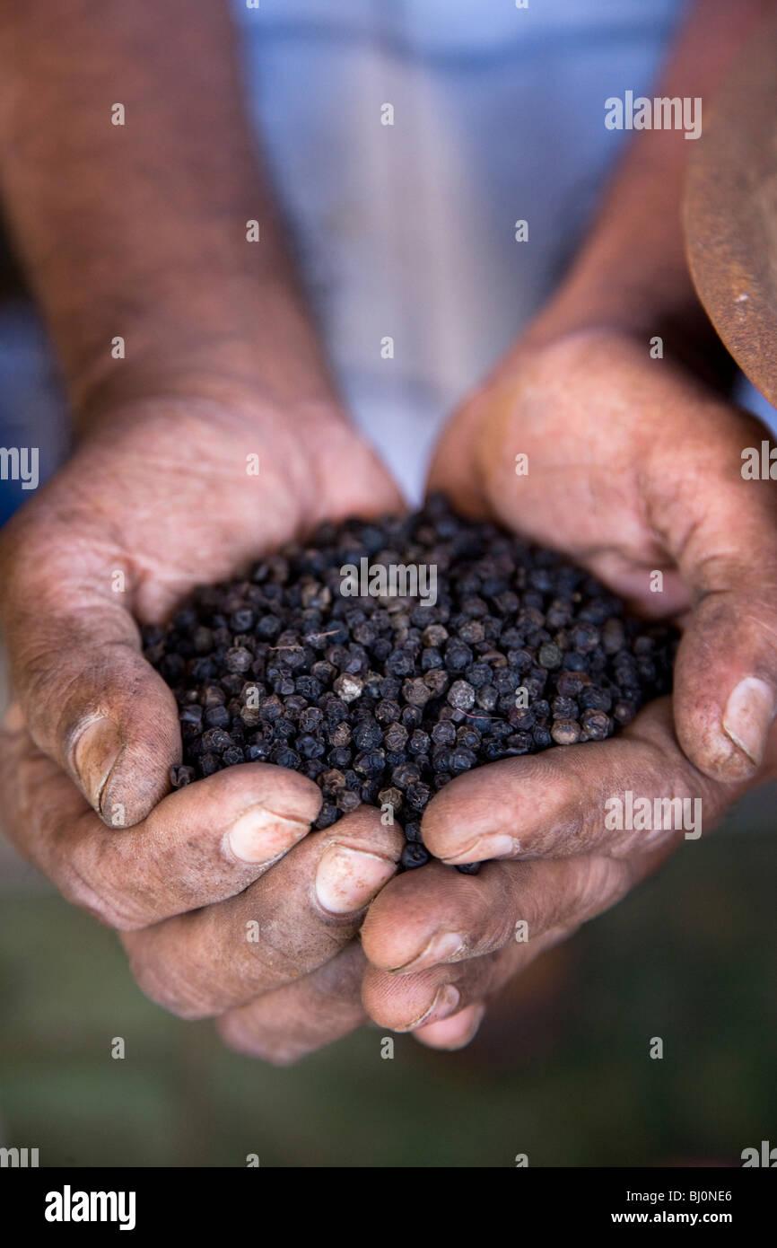 Close-up of man holding poivre sur market à galle sur le Sri lanka Photo Stock