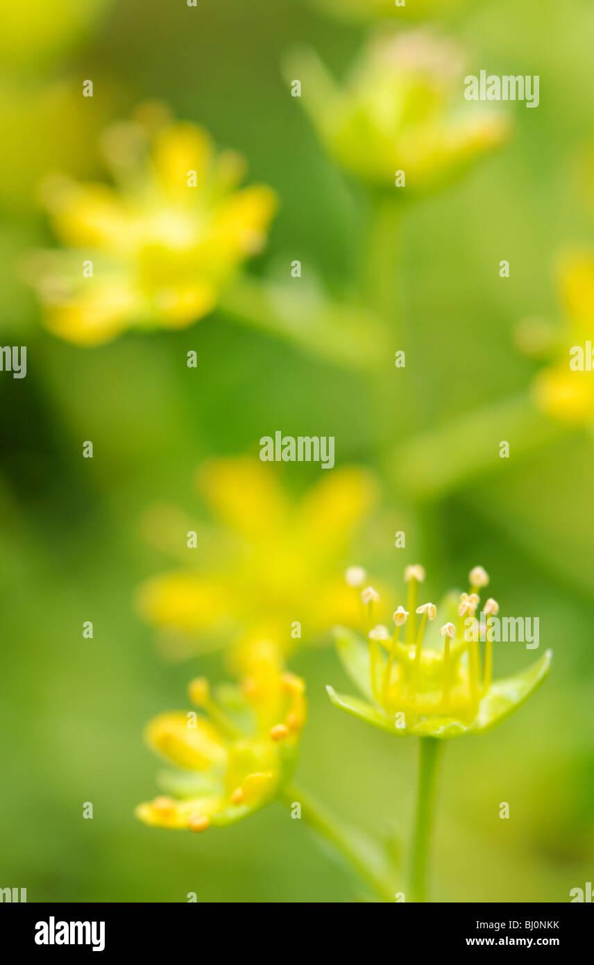 Close-up de saxifrage à feuilles opposées sur la péninsule de Kola russe Banque D'Images