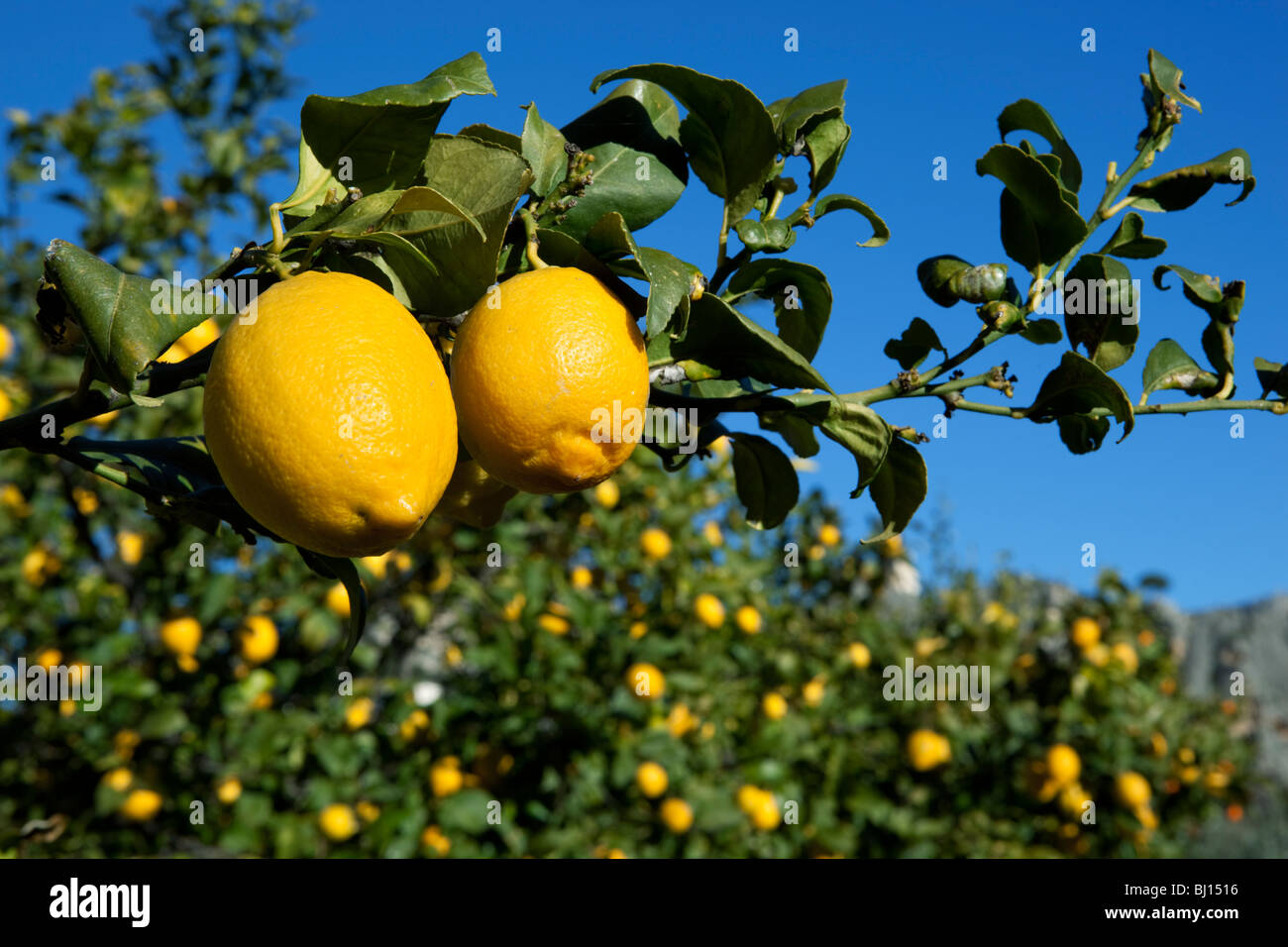 Citrons sur arbre Photo Stock