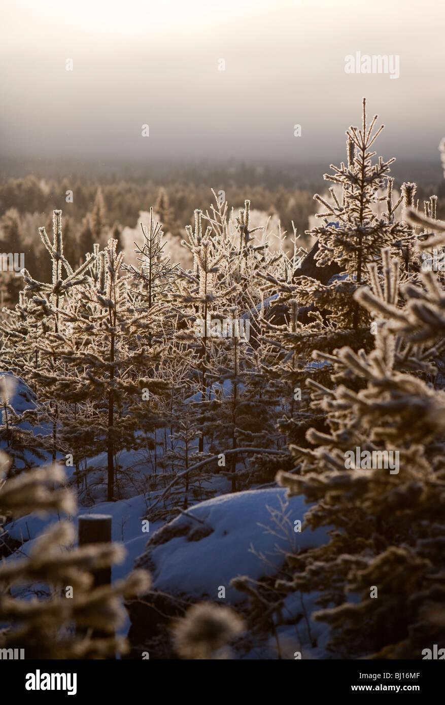 Frosty ( pin Pinus sylvestris ) jeunes arbres en forêt finlandaise au Winter , Finlande Photo Stock