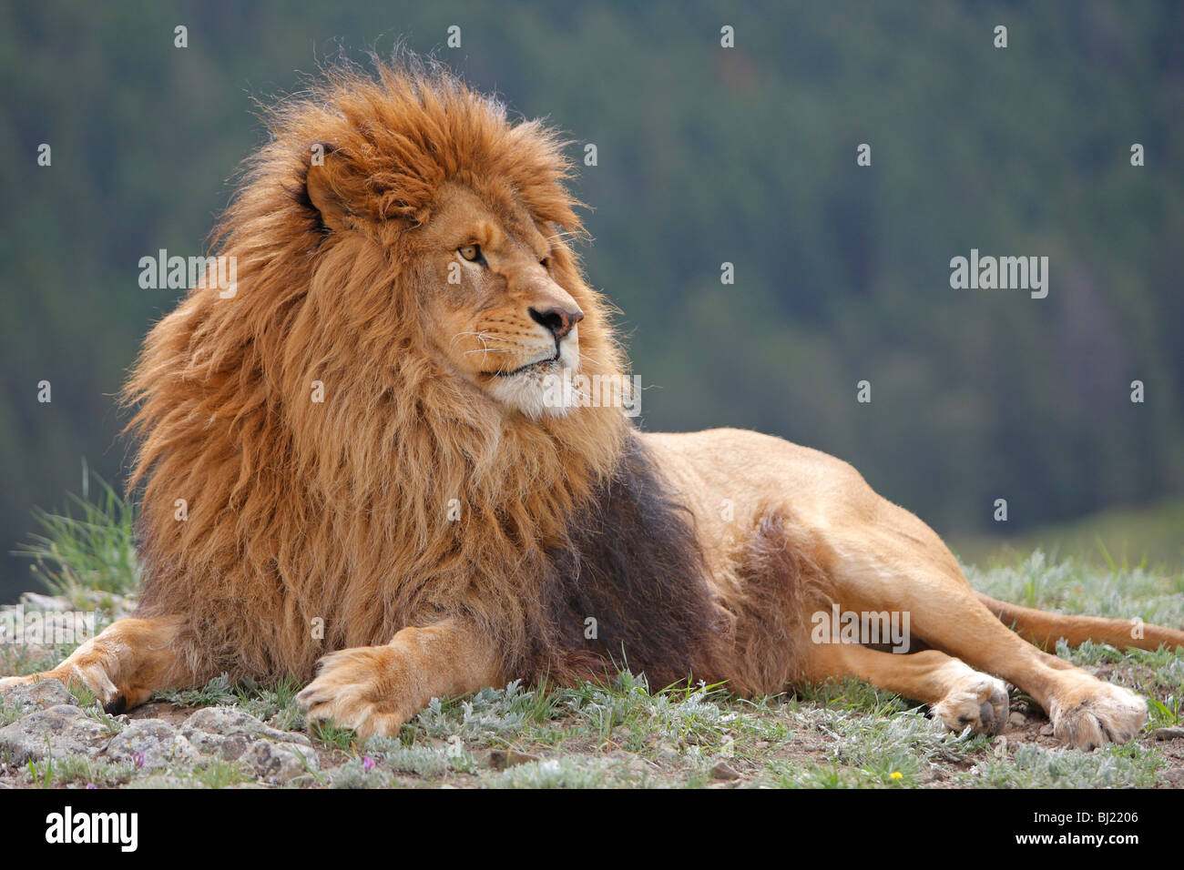 Lion de Barbarie (Panthera leo leo), mensonge mâle. Photo Stock