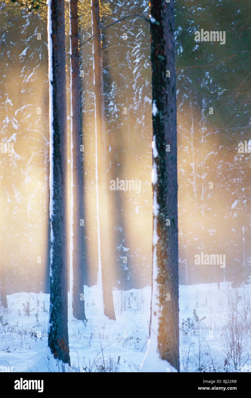 Le soleil du soir contre pin, la Suède. Photo Stock