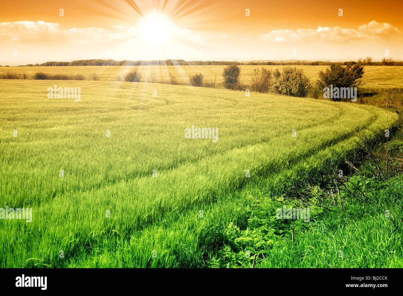 Domaine de grain vert frais et ensoleillé ciel orange Photo Stock