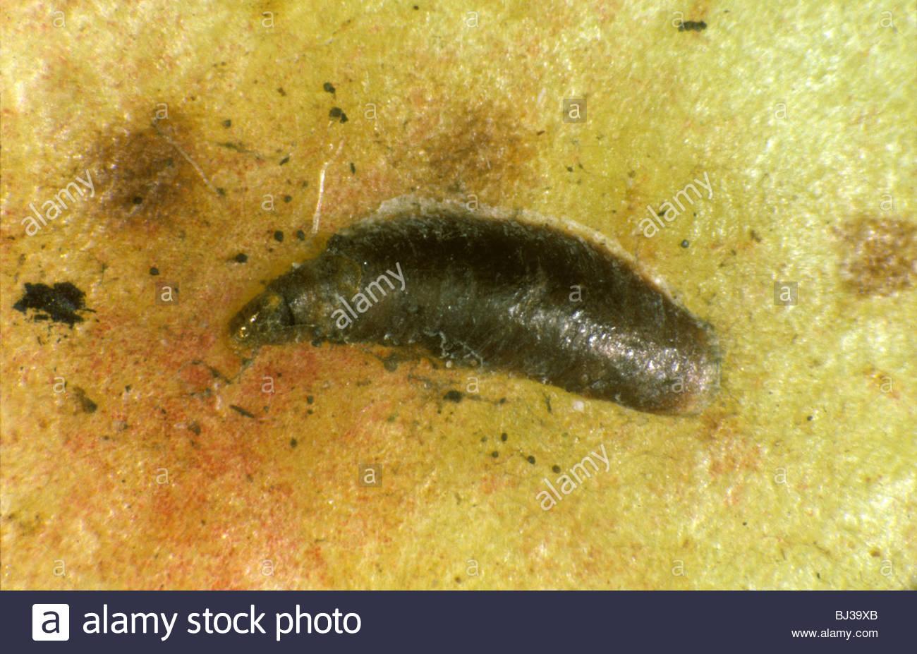Échelle de moules (Lepidosaphes ulmi) sur pomme fruit Photo Stock