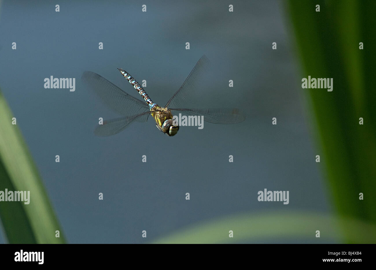 Aeshna Aeshna juncea, commune, planant Photo Stock