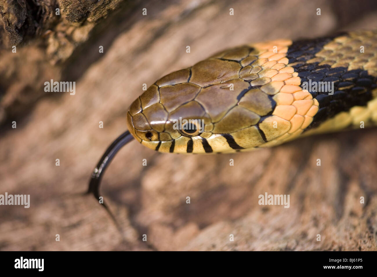 Couleuvre A Collier Natrix Fonction D Identification De La Tete