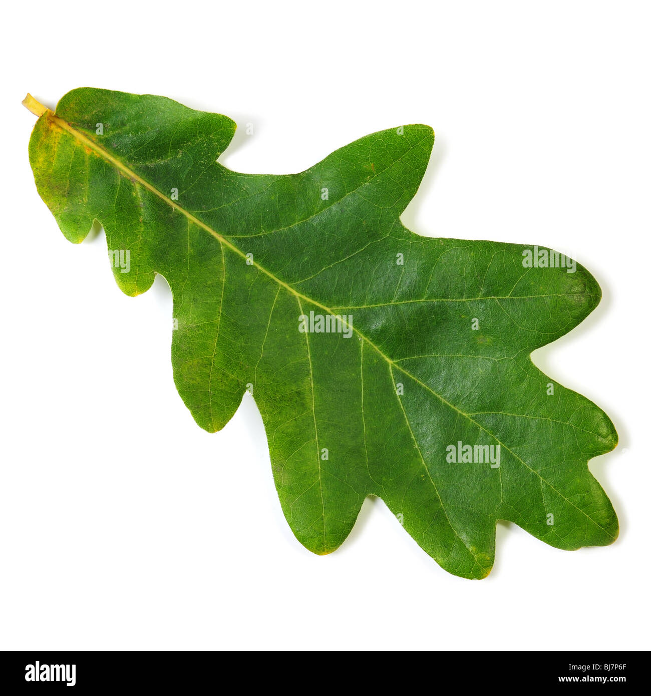 Oak Leaf isolated on white with clipping path Banque D'Images
