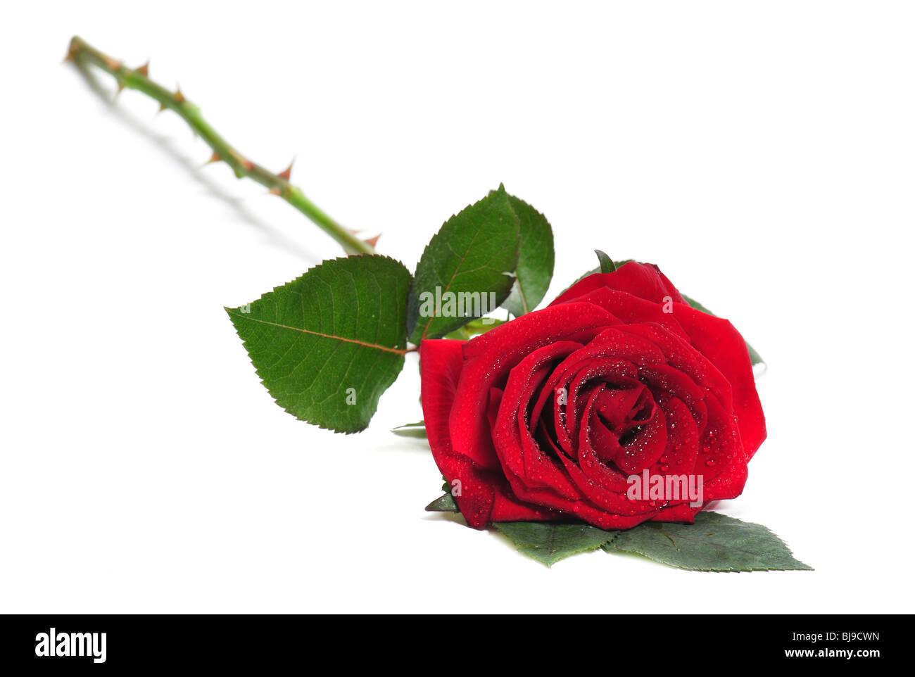Rose se situe sur un fond blanc Photo Stock