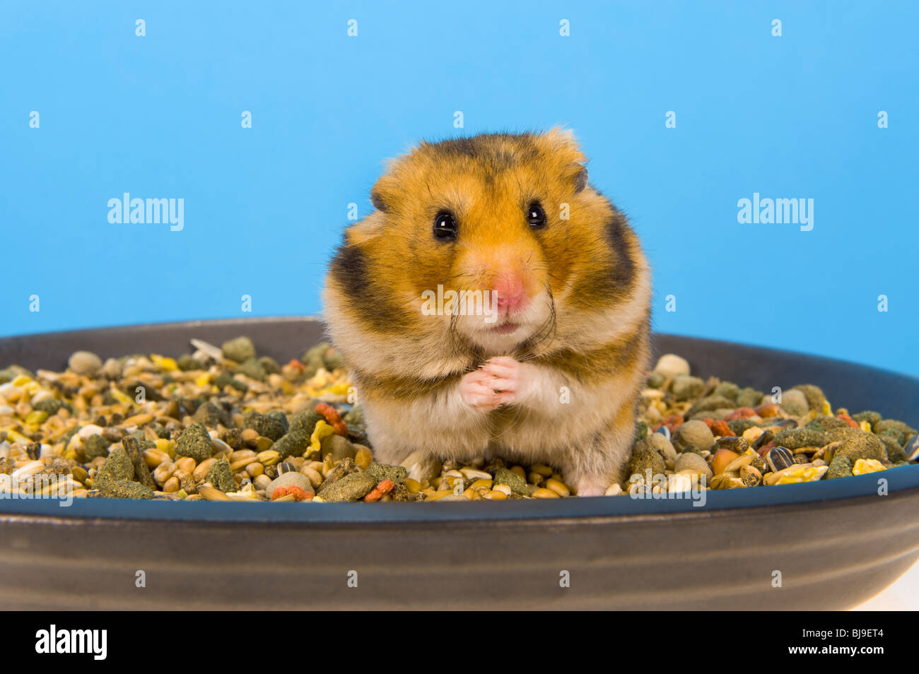 Alimentation Hamster hamster cheeks photos & hamster cheeks images - alamy