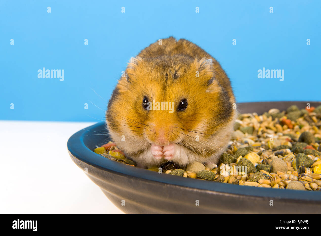 Alimentation Hamster mouse like hamster photos & mouse like hamster images - alamy