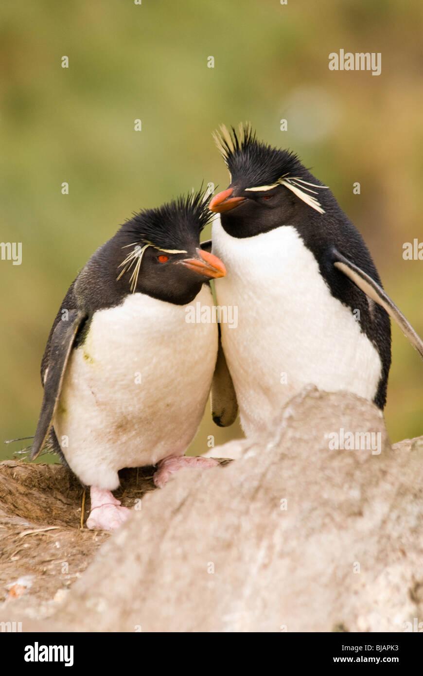 Le Sud Rockhopper Penguin, (Eudyptes chrysocome). Photo Stock