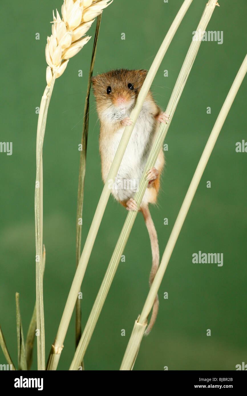 Souris Grimpe Au Mur mouse climbing photos & mouse climbing images - alamy