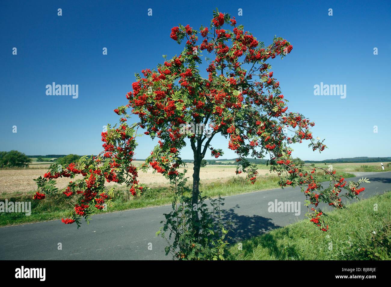 Mountain Ash / Rowan Tree (Sorbus aucuparia), avec les petits fruits mûrs, Allemagne Photo Stock