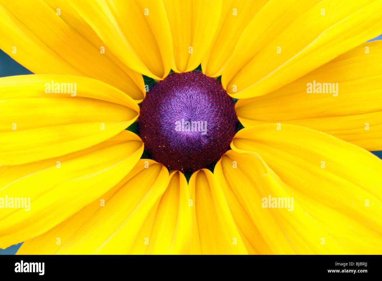 La rudbeckie hérissée (Rudbeckia hirta) - étude détaillée du capitule. Photo Stock