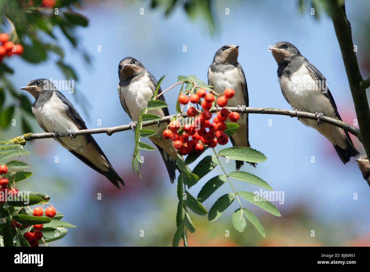 L'hirondelle rustique (Hirundo rustica), 4 jeunes oiseaux posés sur une branche Photo Stock