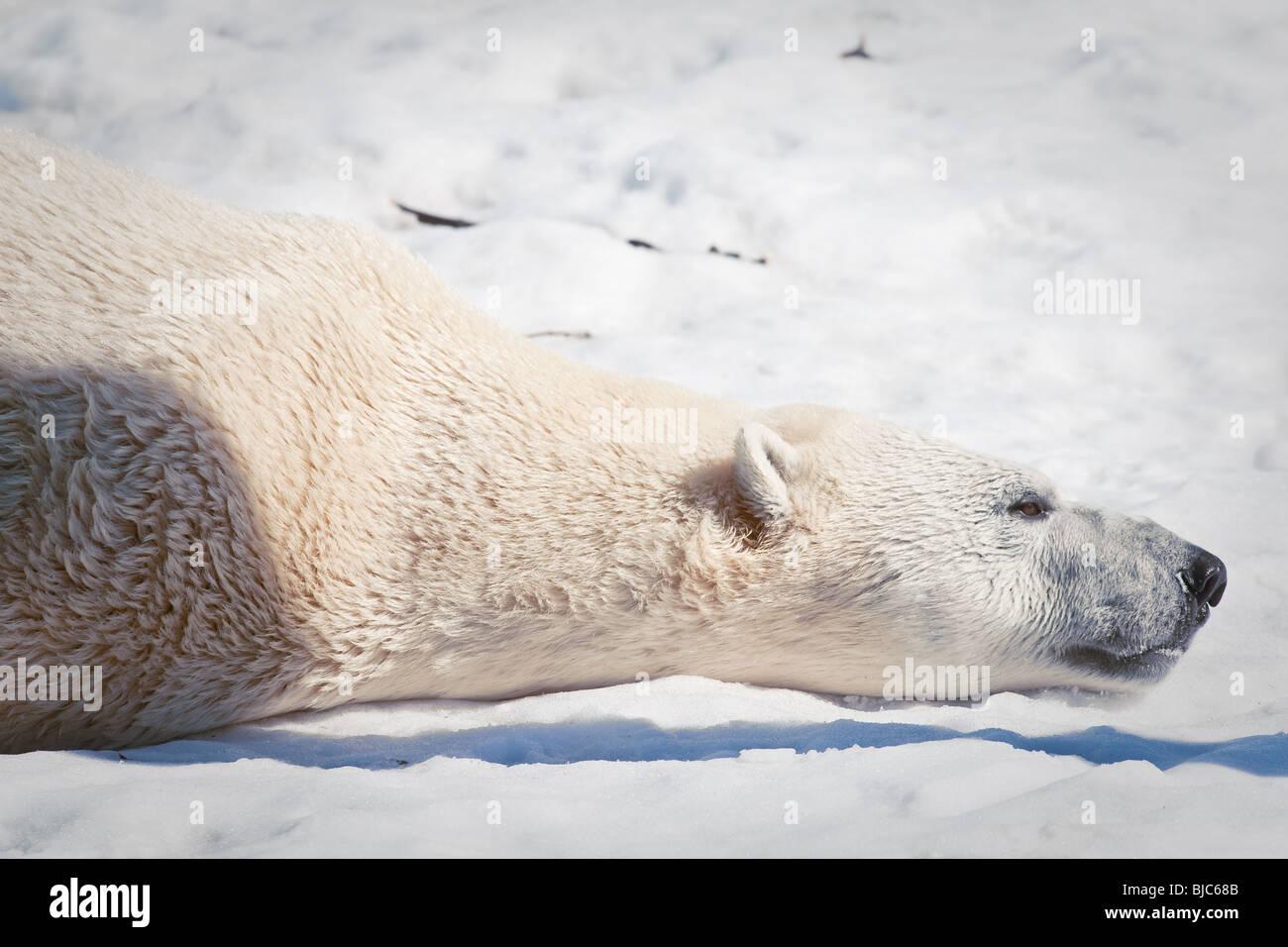 Un Ours blanc (Ursus maritimus - ours polair ou Ours blanc) Photo Stock