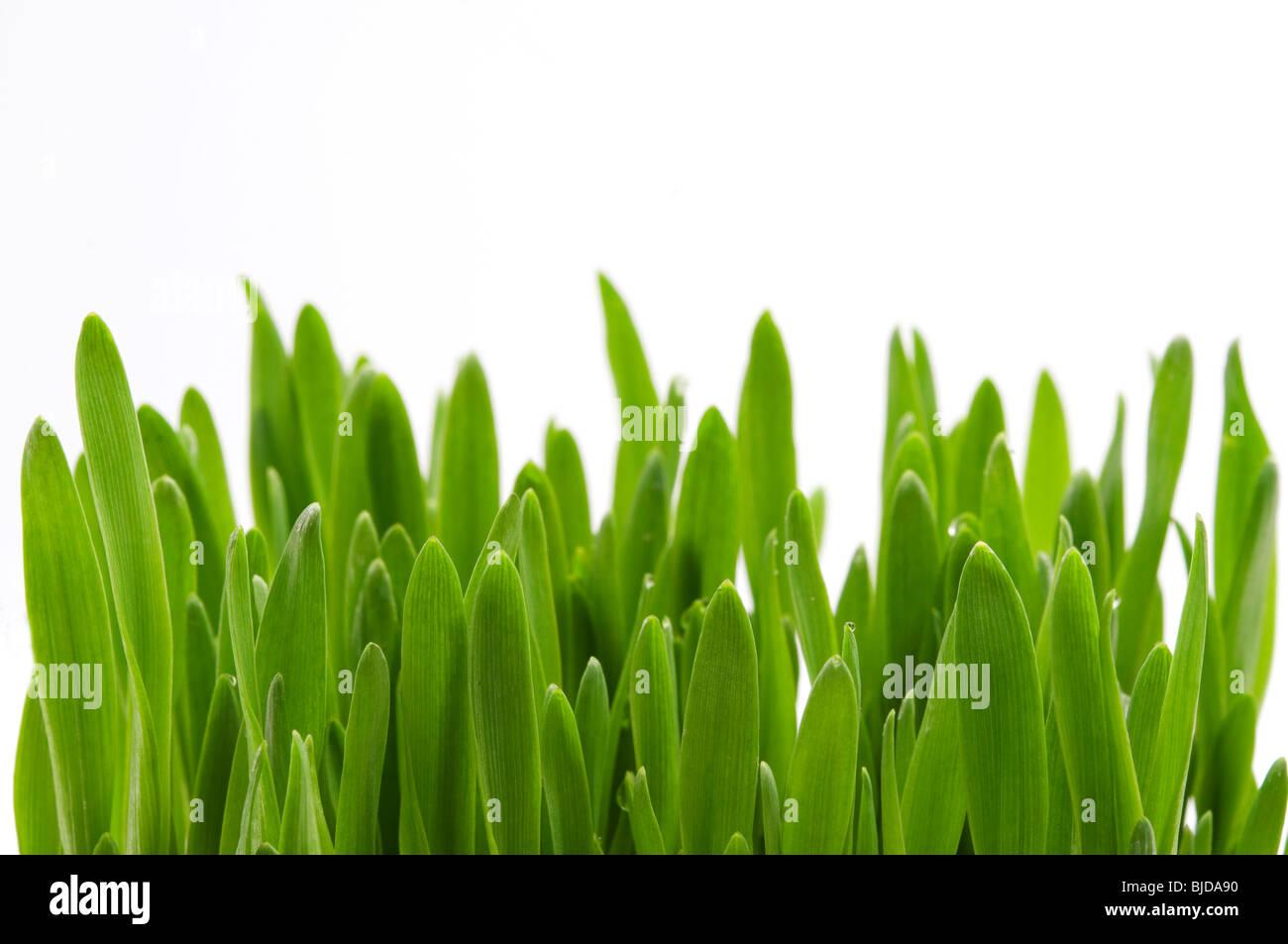 Lames de l'herbe verte sur fond blanc Photo Stock