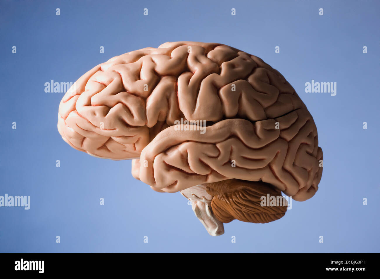 cerveau humain Photo Stock