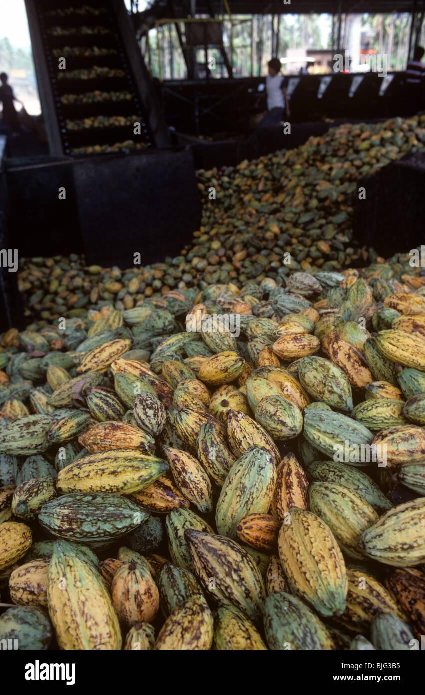 Les gousses récoltées dans une usine de transformation d'être transféré sur le convoyeur Photo Stock