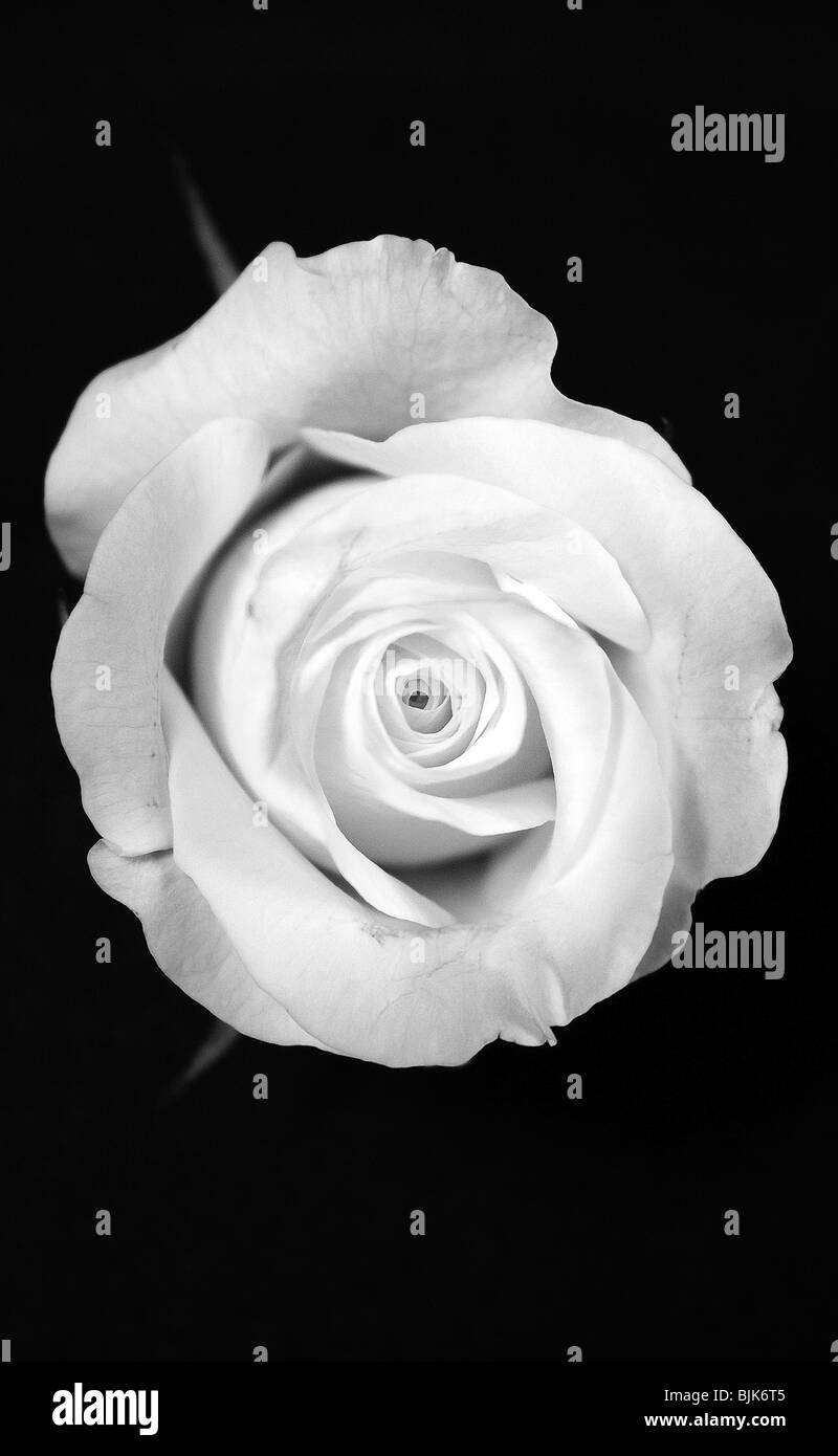 Bouton De Rose Noir Et Blanc Banque D Images Photo Stock 28696645