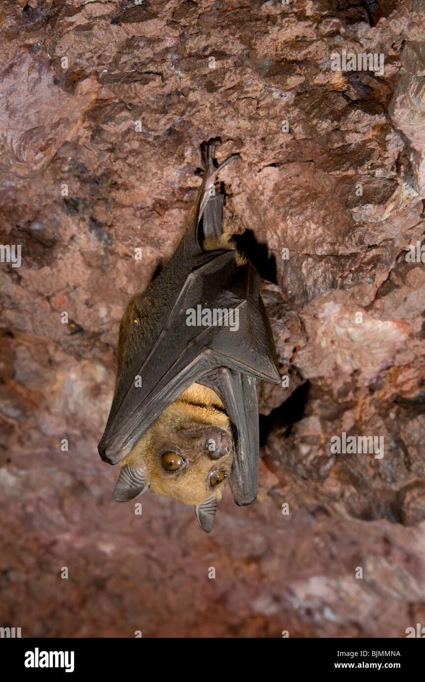 L'Angola bat fruits (Lissonycteris [Myonycteris] angolensis) dans la grotte (Kenya). Banque D'Images