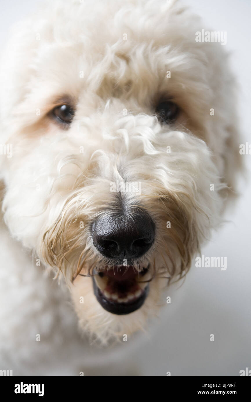 Chien blanc Photo Stock