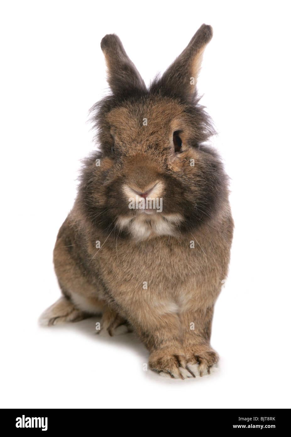 Portrait de lapin domestique adulte seul Studio, UK Photo Stock