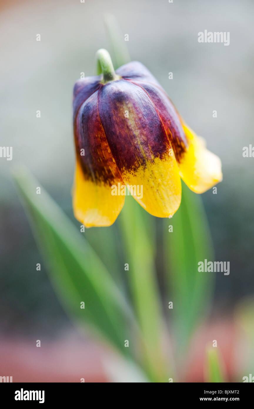 Fritillaria Michailovskyi. Fritillary flower Photo Stock