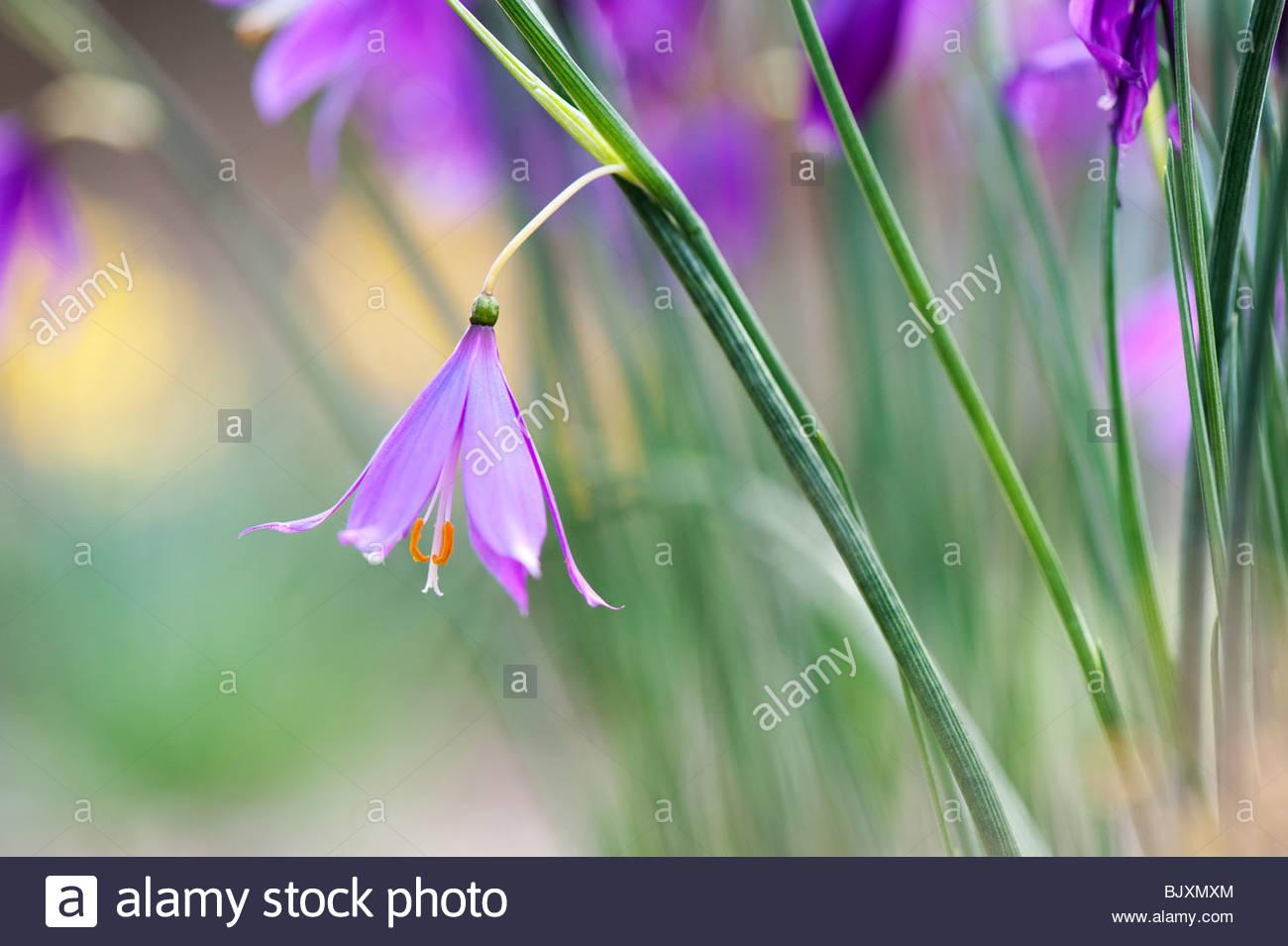 Olsynium douglasii. Grass Widow fleurs Photo Stock