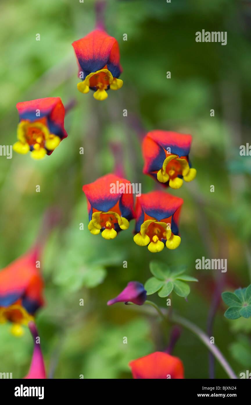 Tropaeolum Tricolor Capucine Bolivien Trois Couleurs De Fleurs De