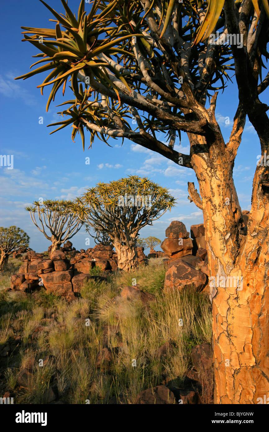 Paysage désertique avec arbres carquois (Aloe dichotoma), Namibie, Afrique du Sud Photo Stock