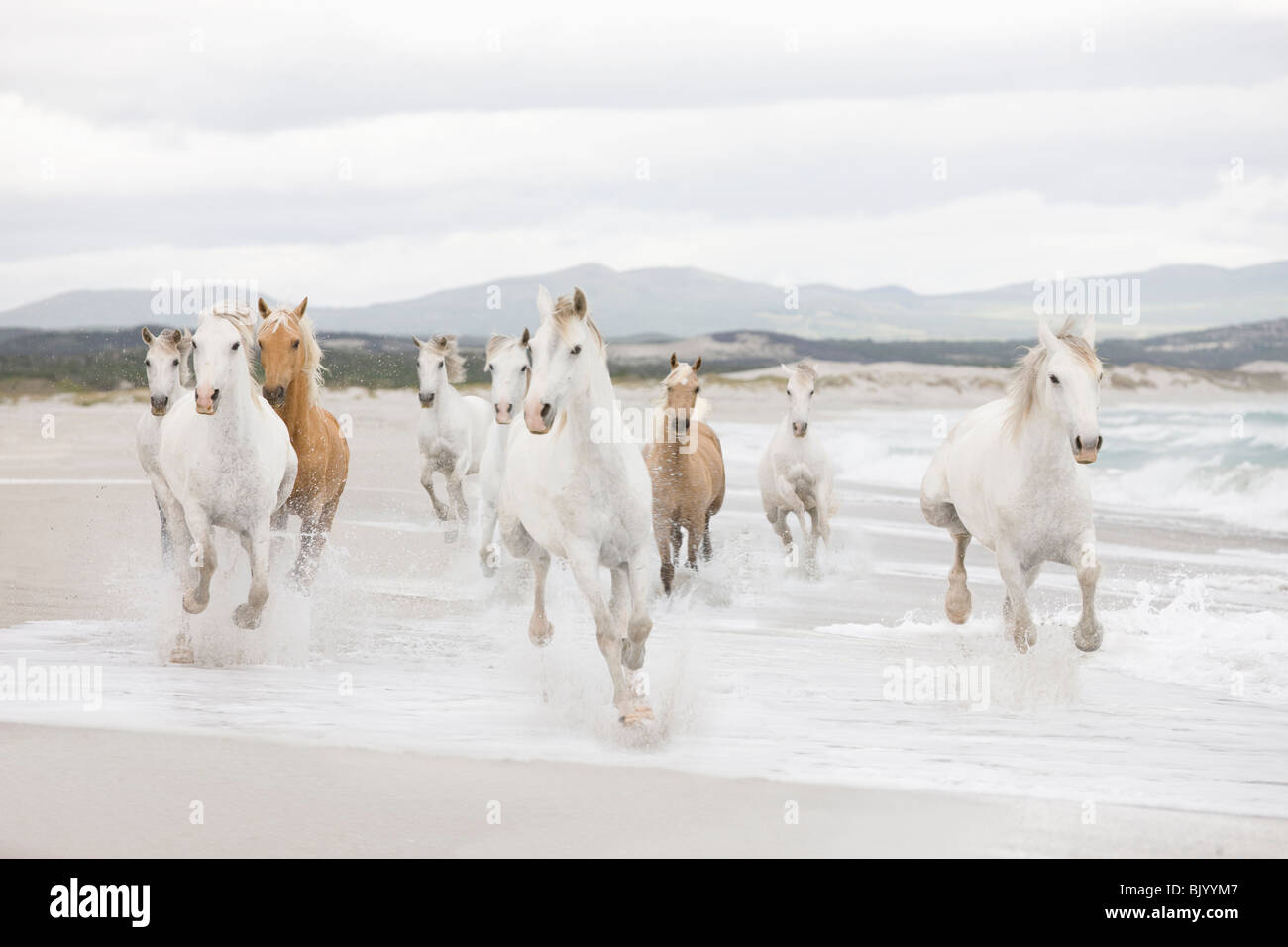 Chevaux sur la plage Photo Stock