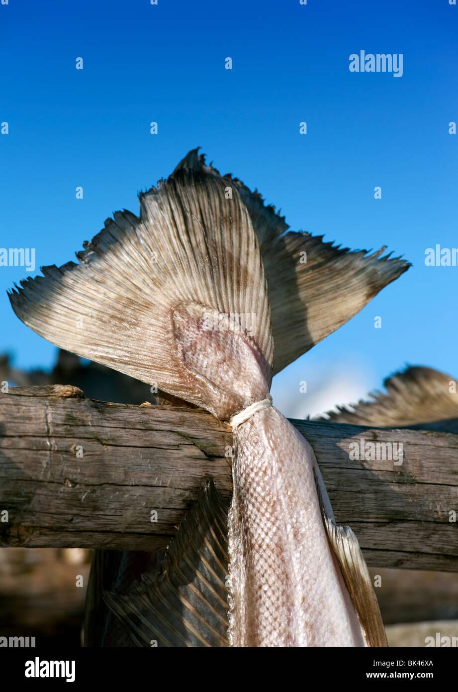 Détail de sécher la morue à produire sur les racks de plein air traditionnelles stockfish dans les îles Lofoten Banque D'Images