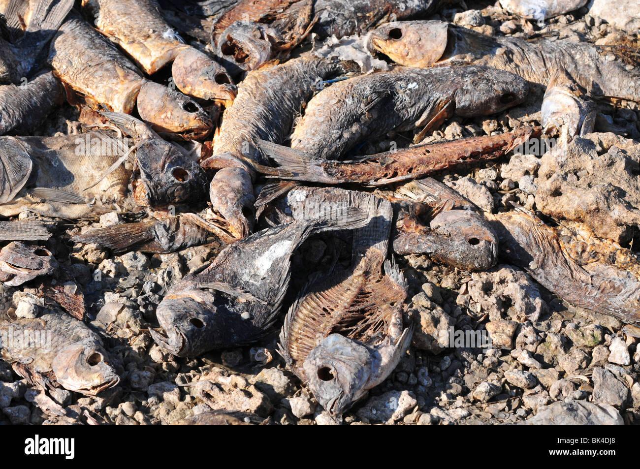 La décomposition des morts dans un poisson séché extérieure montrant l'effet de la sécheresse Photo Stock