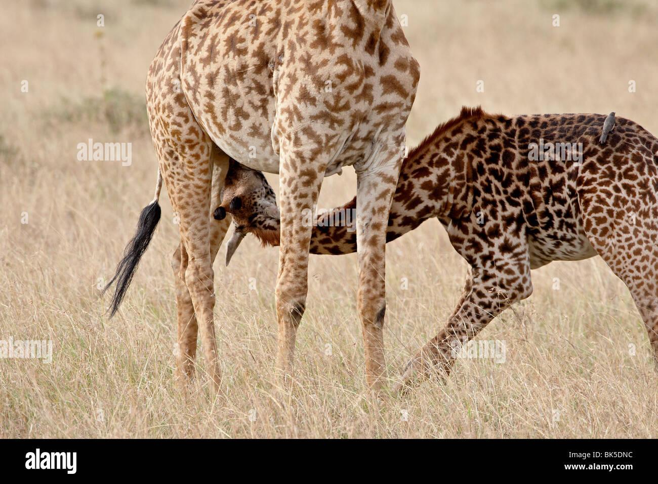 Masai bébé Girafe (Giraffa camelopardalis tippelskirchi) soins infirmiers, Masai Mara National Reserve, Photo Stock