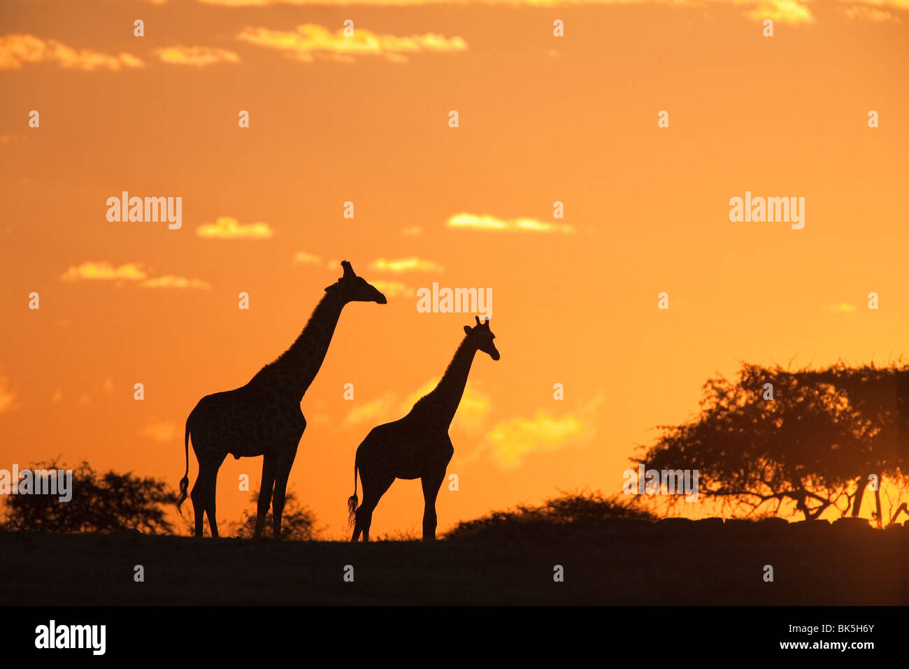 Les Girafes (Giraffa camelopardalis), en silhouette au coucher du soleil, Parc National d'Etosha, Namibie, Afrique Photo Stock